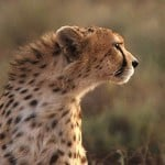 Iran to Continue Conservation of the Asiatic Cheetah Project for More Three Years
