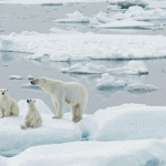 Polar Bears Are No Laughing Matter